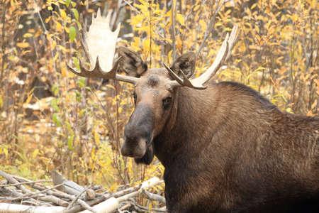 Moose (Alces alces), Yukon Territory, Canada Imagens