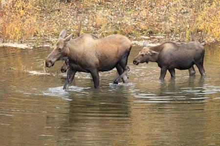 Moose Cow and calf in Yucon, Canada Imagens