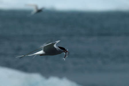 arctic tern, sterna paradisaea in Iceland