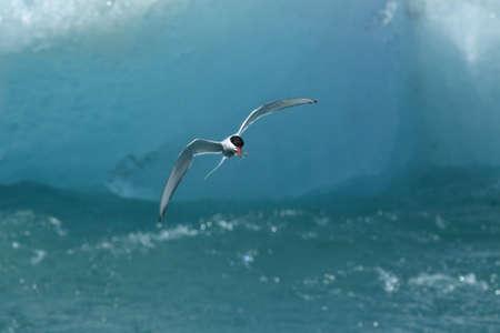arctic tern, sterna paradisaea in Iceland