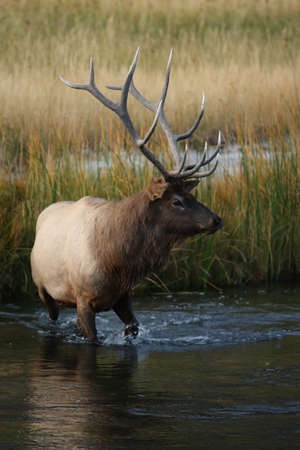 Elk (Wapiti), Cervus elephas in Yellowstone National Park, Wyoming, USA Reklamní fotografie