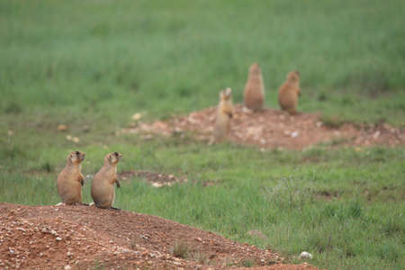 Utah Prairie Dog - Bryce Canyon National Park Foto de archivo - 121015864