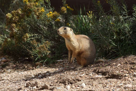 Utah Prairie Dog - Bryce Canyon National Park Foto de archivo - 121015798