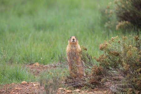 Utah Prairie Dog - Bryce Canyon National Park
