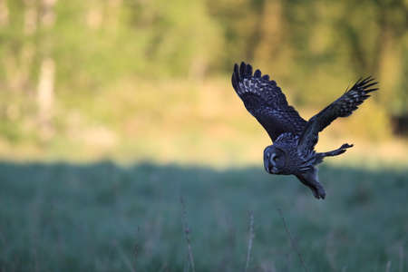 Great grey owl (Strix nebulosa)  Sweden Standard-Bild