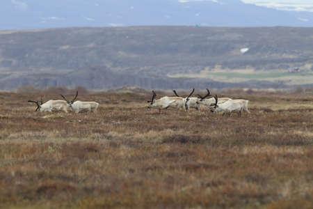 Reindeer, Caribou, Iceland