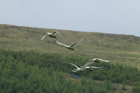 Whooper swans(Cygnus cygnus) Iceland 版權商用圖片