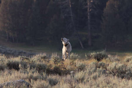 Chief Wolf 472F Agates pack  wild, non-captive wolf - Yellowstone National Park,USA