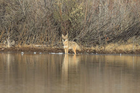 Coyote(s) in Bosque del Apache national wildlife refuge in New Mexico. Banco de Imagens