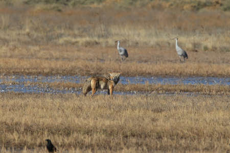 Coyote(s) in Bosque del Apache national wildlife refuge in New Mexico. Stock Photo