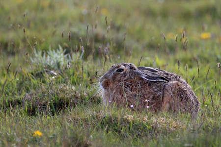 European brown hare (Lepus europaeus)