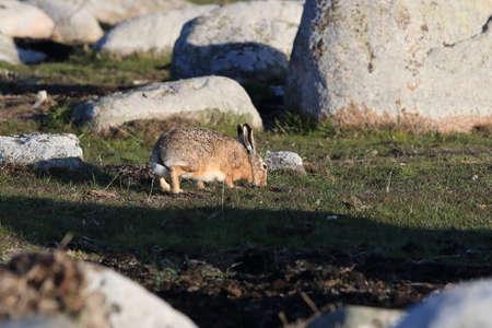 European brown hare (Lepus europaeus) Öland,Sweden 版權商用圖片