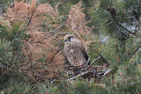 common kestrel (Falco tinnunculus) Sweden