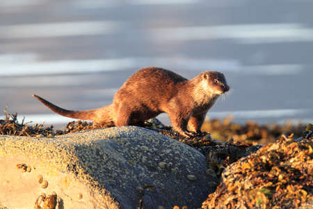 Eurasian otter on the norwegian coast Stockfoto