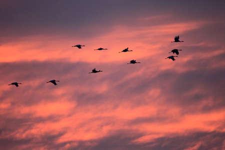 Sylwetki żurawi (Grus Grus) o zachodzie słońca Niemcy Morze Bałtyckie