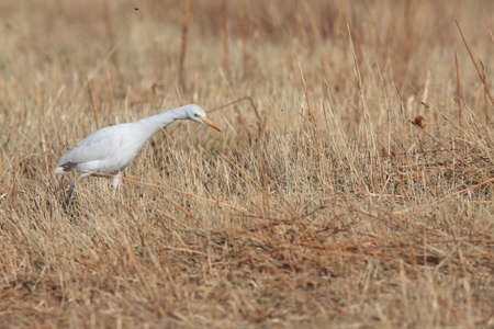 Cattle egret (Bubulcus ibis) New Mexico  Bosque del Apache National Wildlife Refuge Stock Photo