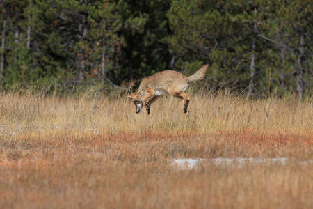 Coyote in Yellowstone National Park USA