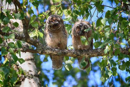Młoda uszatka (Asio otus) siedząca na drzewie, młode zwierzę Niemcy