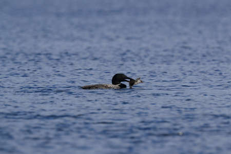 Common Loon (Gavia immer) sitting on nest  Iceland