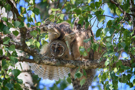 Young long-eared owl (Asio otus) sitting in tree, young animal Germany