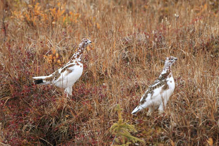 Willow Ptarmigan Alaska