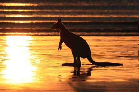 kangaroo on beach at sunrise, mackay, north queensland, australia