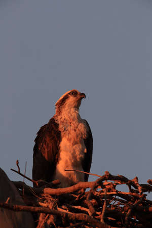 Fish eagle sitting in the nest at the last evening light queensland australian Foto de archivo - 128394082