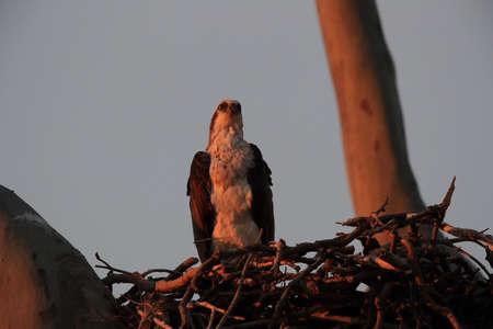 Fish eagle sitting in the nest at the last evening light queensland australian Foto de archivo - 128394081