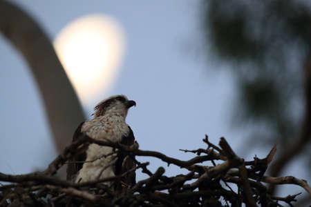 fish eagle sitting in nest by moonlight queensland australia Foto de archivo - 128394092