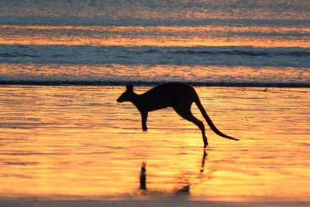 kangaroo on beach at sunrise, mackay, north queensland, australia Foto de archivo - 128394096