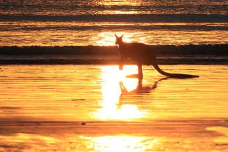 kangaroo on beach at sunrise, mackay, north queensland, australia Foto de archivo - 128394241