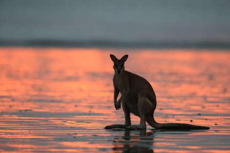 Canguro en la playa al amanecer, Mackay, North Queensland, Australia