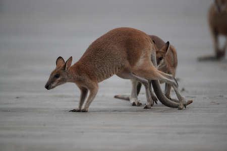 kangaroo on beach at sunrise, mackay, north queensland, australia Foto de archivo - 128394233