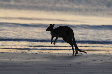 kangaroo on beach at sunrise, mackay, north queensland, australia Foto de archivo - 128394235