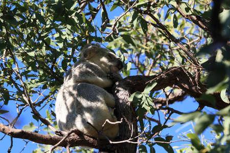 A Koala sits in a tree on Magnetic Island, Australia Foto de archivo - 128394243