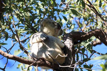 A Koala sits in a tree on Magnetic Island, Australia Foto de archivo - 128394240