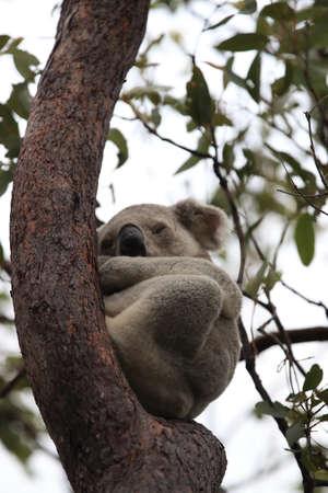A Koala sits in a tree on Magnetic Island, Australia Foto de archivo - 128394245
