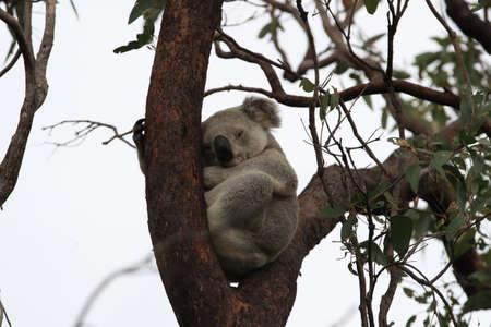 A Koala sits in a tree on Magnetic Island, Australia Foto de archivo - 128394250