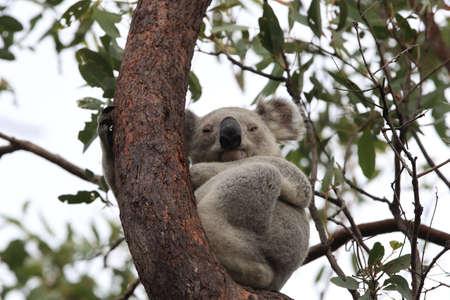 A Koala sits in a tree on Magnetic Island, Australia Foto de archivo - 128394254