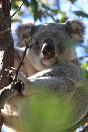 A Koala sits in a tree on Magnetic Island, Australia Stock Photo