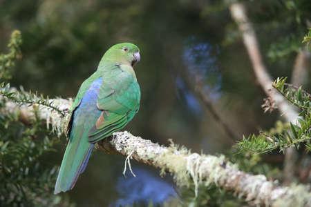 Curious Australian King-parrot (Alisterus scapularis)in the tree, Queensland Australia. Foto de archivo - 128394259