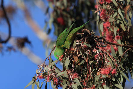 scaly-breasted lorikeet looking for forage queensland australia