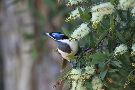 Blue-Faced Honeyeater looking for forage queensland,australia