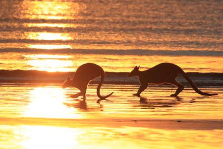 kangaroo on beach at sunrise, mackay, north queensland, australia Stock Photo