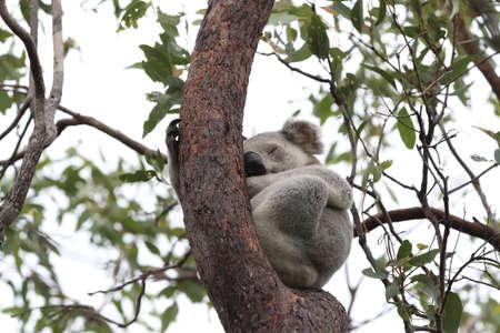 A Koala sits in a tree on Magnetic Island, Australia