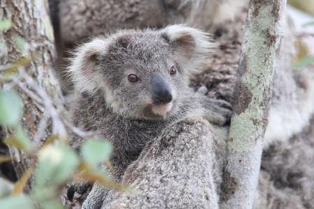 Un Koala sauvage et son bébé assis dans un arbre. sur Magnetic Island, Queensland Australie