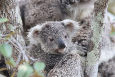 A wild Koala and its baby sitting in a tree. on Magnetic Island, Queensland Australia Stock Photo