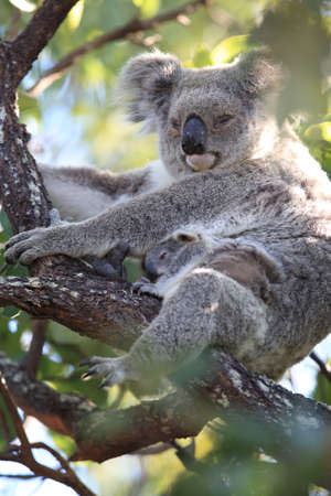 A baby koala and mother sitting in a gum tree on Magnetic Island, Queensland Australia