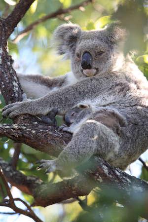 Un bebé koala y su madre sentada en un árbol de goma en Magnetic Island, Queensland Australia