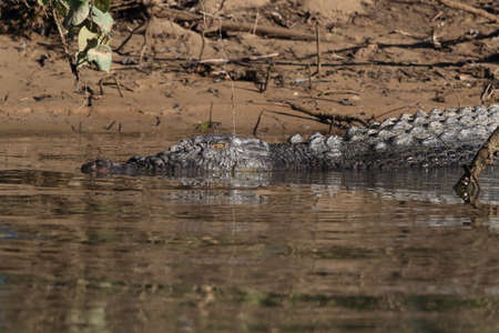 Australian Saltwater Crocodile Daintree River Queensland, Australien